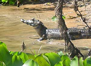 Alligators abound in the Pantanal, the largest wetland in the world. Photos by Jorge Jameson