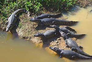 Alligators lazing in the sun in Brazil's Pantanal