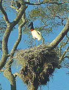 The tuiuiu bird is a symbol of the Pantanal.