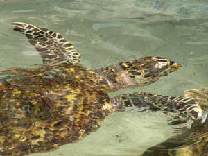 One of Brother Orton King's Hawksbill sea turtles in Bequia