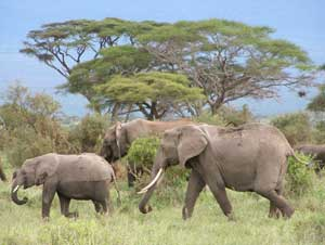Elephants at Amboseli Park  in Kenya