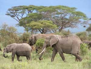 Elephants at Amboseli Park  in Kenya