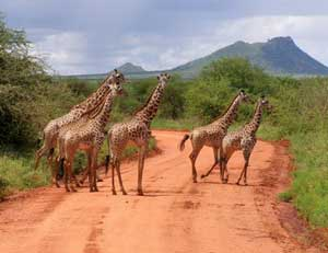 Giraffes in Amboseli Park, Kenya - photos by Kent St. John