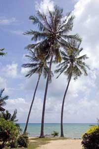 Palms on Chaweng Beach