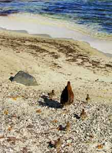 A hen and her chicks stroll the beach in St. Croix.