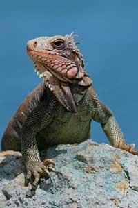 An iguana suns himself on St. John. iStockphoto/adwalsh