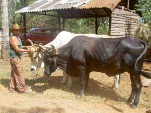 A team of oxen is readied for work on a tobacco farm in Las Terrazas.