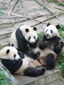 A trip of cubs