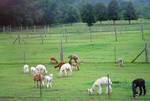 Alpacas grazing at Safe Haven Farm.
