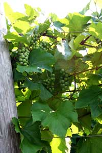 Grapes on the vine at Sharpe Hill Vineyard.
