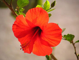 Hibiscus flower, source of hissap tea