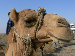 This grumpy camel groaned and complained when it was time to get up. Photos by Max Hartshorne