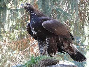 An eagle in Grigorievka