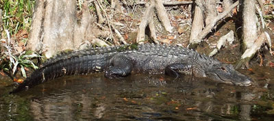 A gator snoozes in the sunshine in Wakulla Springs State Park. Photos by Wendy Hammerle