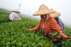 Picking tea in Taiwan. photos by Paul Shoul.