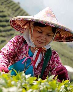 Alishan high mountain tea picker