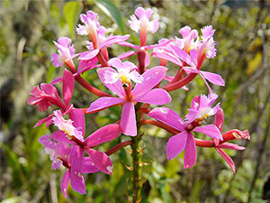 The dozen flavors of orchids are strewn among cloud forests.