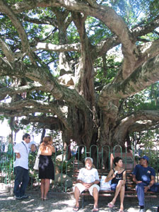 Circle this 100-year-old fig tree seven times for good luck.
