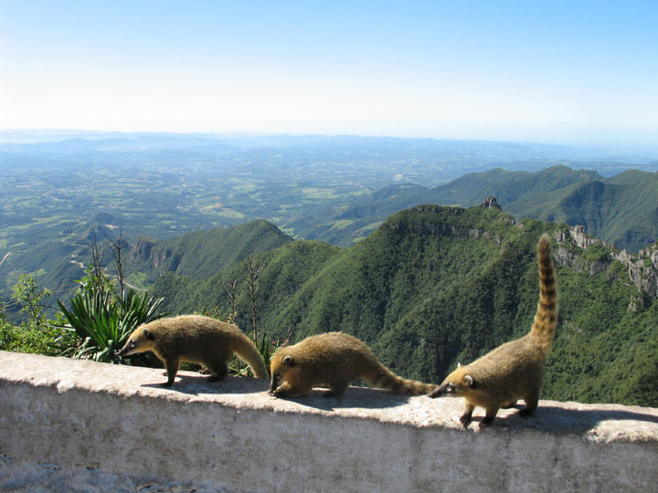 Coatis, a member of the raccoon family, on the Planalto Serrano in Santa Catarina, Brazil. Photo by Susan McKee