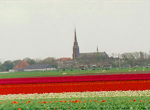 Miles and miles of tulips