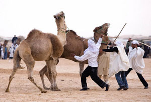 Camel fighting at the Festival of the Sahara