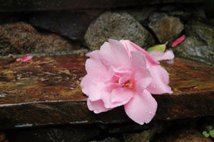 A fallen flower on the steps at Harrison House