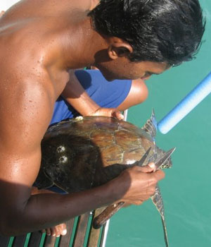 Barnacles being removed from a protected sea turtle we picked up (and released) while snorkeling