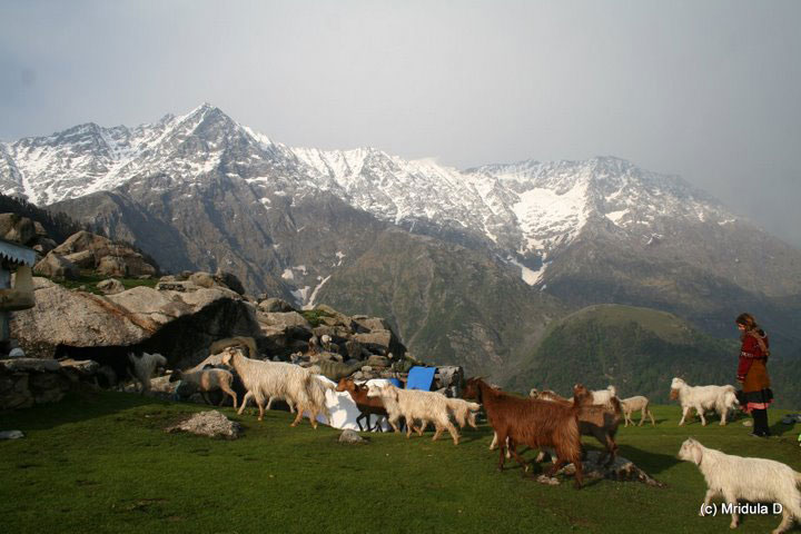 Herding goats in Triund, in the Himalayas above McLeod-Ganj. Photo by Mridula Dwivedi
