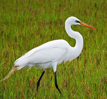 The milky-white egret which stood still enough for just one shot