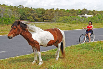 The author meets a wild pony on the Island of Assateague. Photos by Pinaki Chakraborty.
