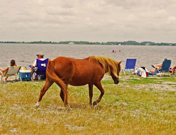 One of the ponies of Assateague Island out on a leisurely stroll