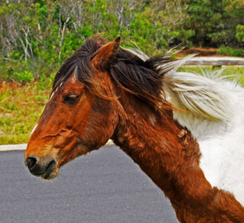 Wild pony roaming free on Assateague Island
