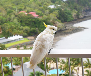 A cockatoo on the balcony railing in Hamilton