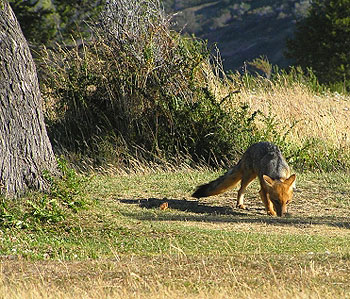 The back half of the Circuit is where you are most likely to see wildlife, like this Patagonian fox.