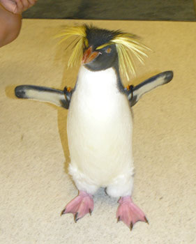 Hendrix, a rockhopper penguin born in captivity