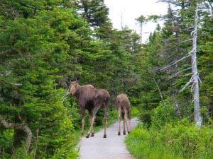 Mama Moose and a calf.