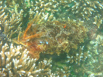 The cuttlefish is a master of camouflage.