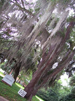 Spanish moss drips from a massive oak outside the entrance to the St. Francisville Public Library.