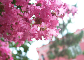 In June, the crape myrtle trees are in full bloom throughout St. Francisville and its surrounding plantation homes.