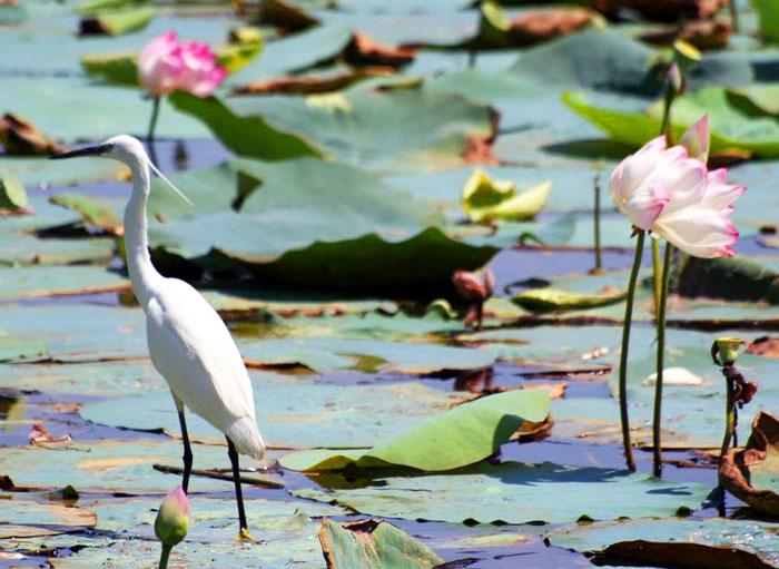 An egret in the lake behind Sukh Mahal, Bundi, India