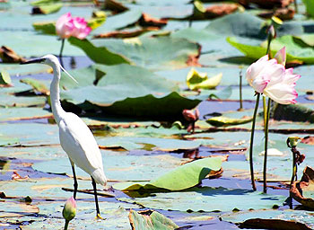 An egret in he lake behind Sukh Mahal