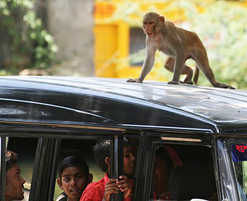There are monkeys aplenty in Bundi