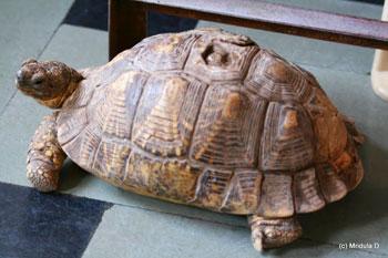 Gopi the tortoise at the Mangalam Guest House, Bundi, India