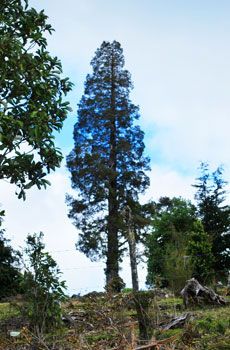 This giant conifer, the Alerce, inspires as much awe as its North American relative, the Giant Sequoia.