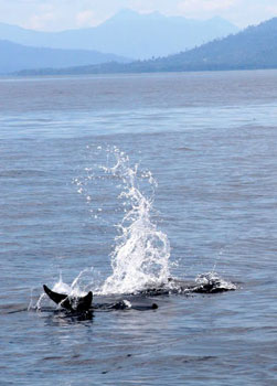 Dolphins on Kimbe Bay, Papua New Guinea