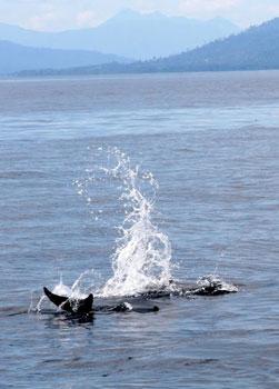 Dolphins on Kimbe Bay, Papua New Guinea