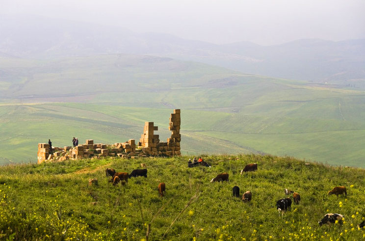 Cows graze near an ancient ruin in Algeria.