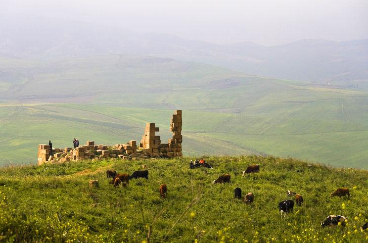 Cows graze near an ancient ruin in Algeria