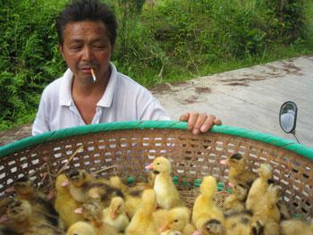 Farmer with ducklings