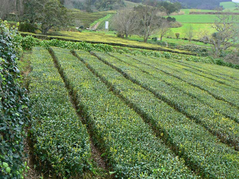 Tea growing at Cha Gorreana, a tea manufacturer in the Azores